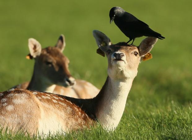 Chim quạ đậu trên đầu hươu sao trong công viên Phoenix ở Dublin, Ireland.