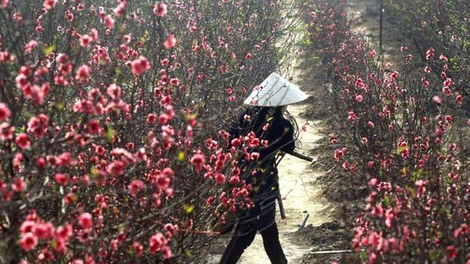 Kết quả hình ảnh cho người dân bán hoa đào
