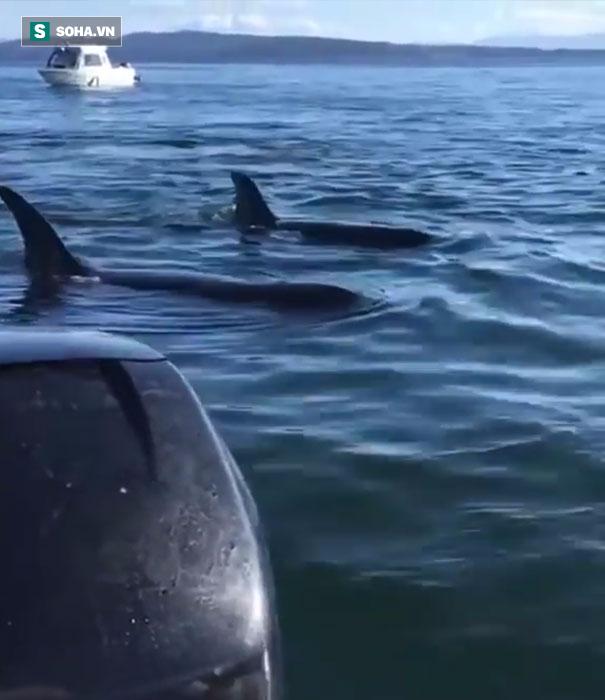 Hành động kỳ lạ giúp hải cẩu sống sót giữa vòng vây cá voi! - Ảnh 1.