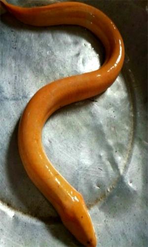 Cận cảnh con lươn vàng có giá chục triệu gây bão mạng xã hội Việt - Ảnh 1.