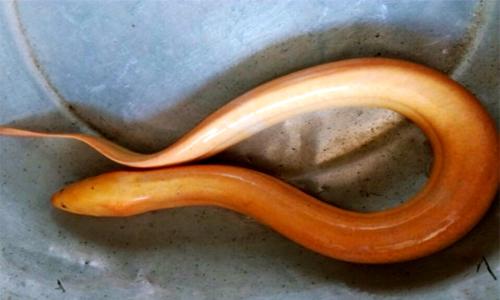 Cận cảnh con lươn vàng có giá chục triệu gây bão mạng xã hội Việt - Ảnh 2.