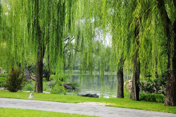 Nếu trước cửa hay trong vườn nhà có cây này, tốt nhất hãy chặt ngay cho lành! - Ảnh 2.