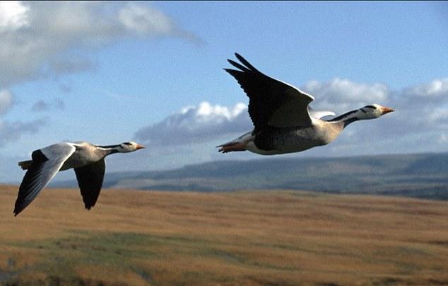 Tại sao chim lại thường bay theo hình chữ V? - Ảnh 3.