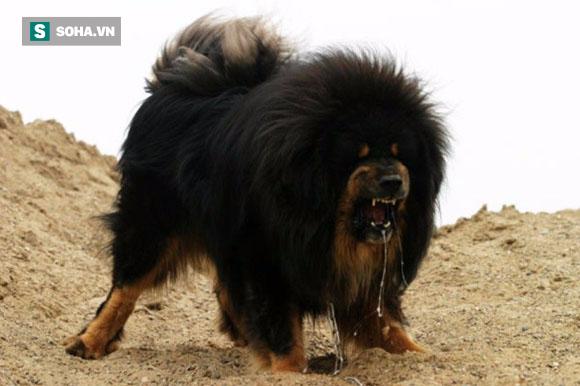 Câu Chuyện Ngao Tây Tạng đánh Thua Chó Già Trụi Lông Và Bài Học đắt
