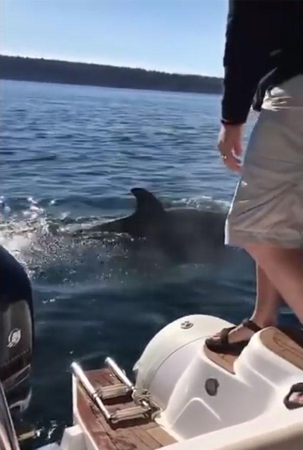 Hành động kỳ lạ giúp hải cẩu sống sót giữa vòng vây cá voi! - Ảnh 5.
