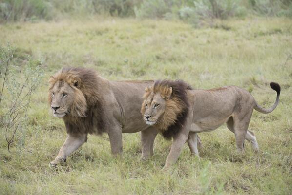 Chẳng riêng gì con người, sư tử ngày nay cũng bắt đầu chuyển giới - Ảnh 1.