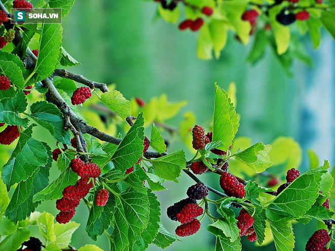 Bài thuốc từ cây dâu tằm - chiếc lá nhỏ làm thay đổi thế giới - Ảnh 4.