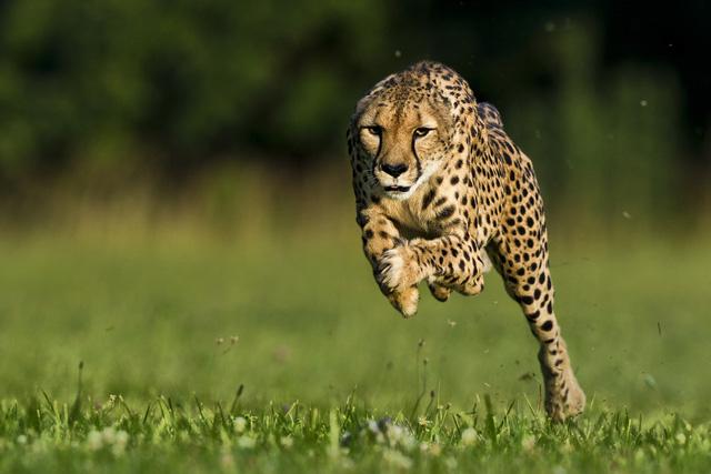 Đây là động vật trên cạn chạy nhanh nhất Trái Đất này, và chúng đang đứng trên bờ vực tuyệt chủng - Ảnh 1.