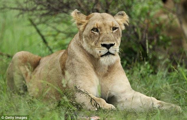 Chẳng riêng gì con người, sư tử ngày nay cũng bắt đầu chuyển giới - Ảnh 3.