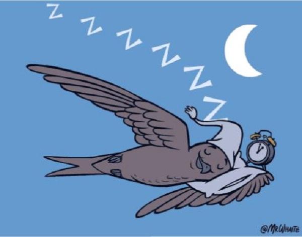Có một loài chim có thể bay suốt cả năm trời không ngừng nghỉ - Ảnh 3.