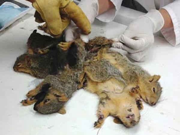 Vua chuột - hiện tượng... kinh dị hiếm gặp và nguy hiểm của loài động vật ai cũng sợ - Ảnh 4.