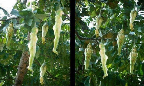 Bí ẩn chưa có lời giải về loài cây cho ra quả giống y hệt thiếu nữ khỏa thân - Ảnh 4.