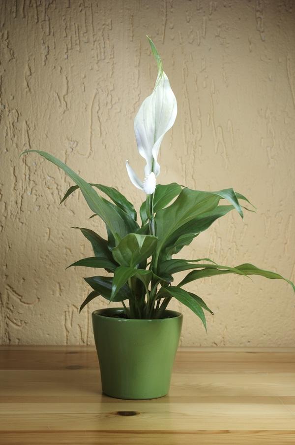 7 loại cây lọc thanh không khí nên trồng trong nhà để hỗ trợ sức khỏe - Ảnh 5.