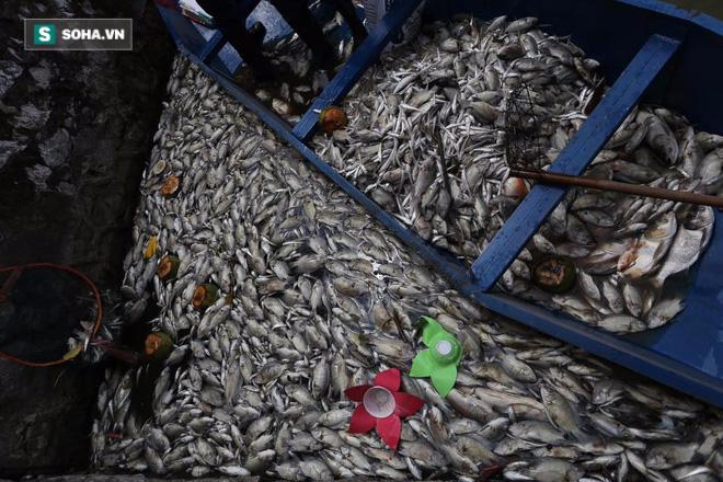 [ẢNH] Cảnh vớt cá chết nổi trắng chưa từng có ở Hồ Tây - Ảnh 5.