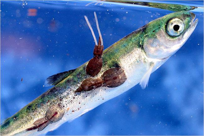 Cá hồi nuôi là thực phẩm độc hại nhất thế giới? - Ảnh 2.
