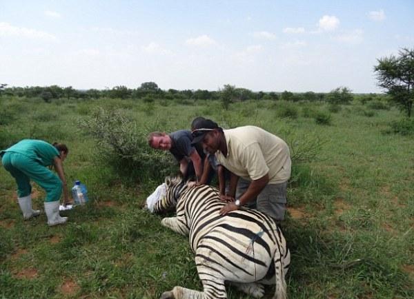 Những kẻ săn trộm ngang nhiên đặt bẫy trong khu bảo tồn khiến nhiều loài vật quý chết thảm - Ảnh 2.
