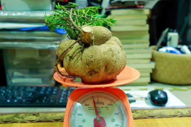 Nấm phục linh thiên quý giá hình củ khoai tây được phát hiện ở Nghệ An - Ảnh 4.