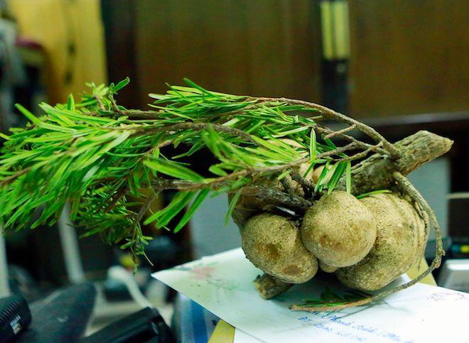 Nấm phục linh thiên quý giá hình củ khoai tây được phát hiện ở Nghệ An - Ảnh 3.