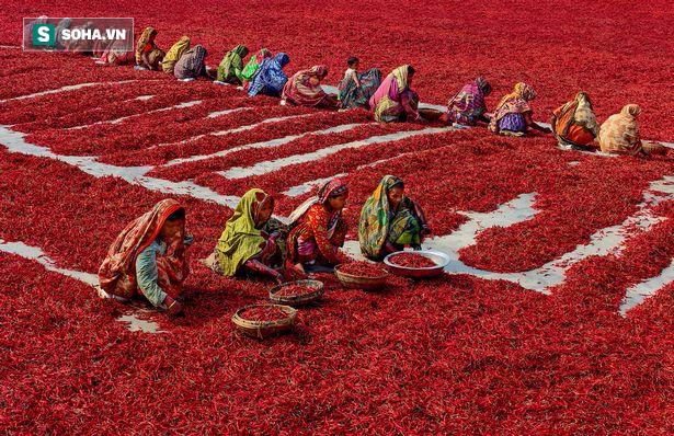 Mãn nhãn với những bức ảnh tuyệt đẹp trong mùa thu hoạch ớt ở Bangladesh - Ảnh 1.