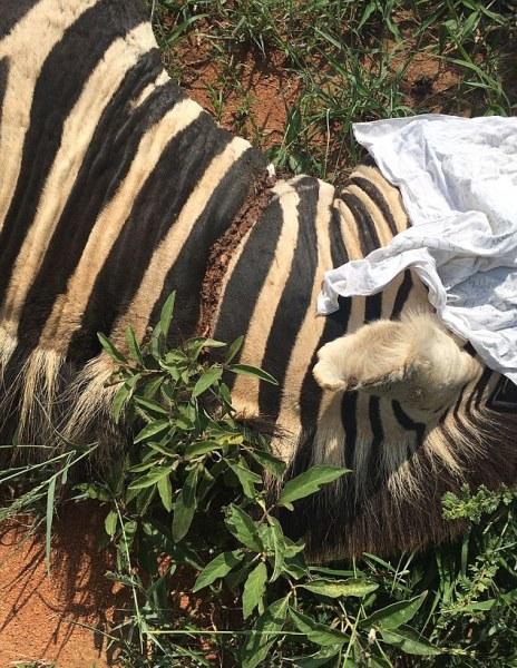 Những kẻ săn trộm ngang nhiên đặt bẫy trong khu bảo tồn khiến nhiều loài vật quý chết thảm - Ảnh 3.