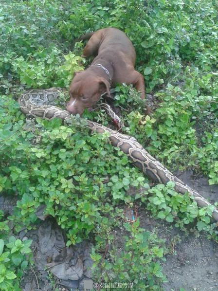 Mò vào vườn nhà, trăn khổng lồ bị chó tấn công trọng thương - Ảnh 1.