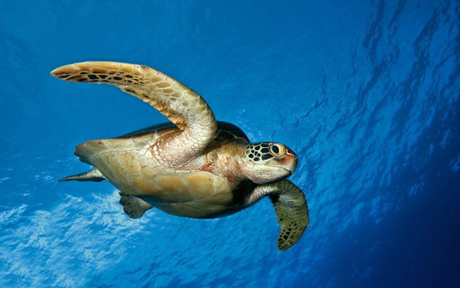 Cứu sống một con rùa biển, 60 năm sau, gia đình nhận được báo đáp nằm ngoài tưởng tượng - Ảnh 1.