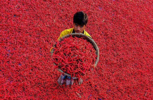 Mãn nhãn với những bức ảnh tuyệt đẹp trong mùa thu hoạch ớt ở Bangladesh - Ảnh 2.