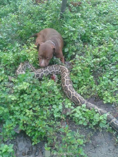 Mò vào vườn nhà, trăn khổng lồ bị chó tấn công trọng thương - Ảnh 2.