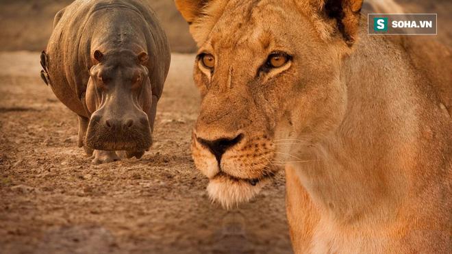 Bị quấy rối lúc đang nghỉ ngơi, hà mã tức giận ngoạm cả đầu sư tử - Ảnh 3.