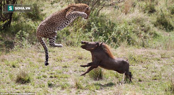 Gặp đúng thứ dữ, báo đốm hay linh cẩu cũng chỉ biết cong đuôi chạy thật nhanh - Ảnh 2.