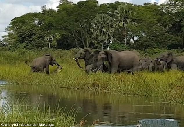 Bất tuân bài học tự lượng sức mình, cá sấu liều lĩnh tấn công quý tử của đàn voi to lớn - Ảnh 2.