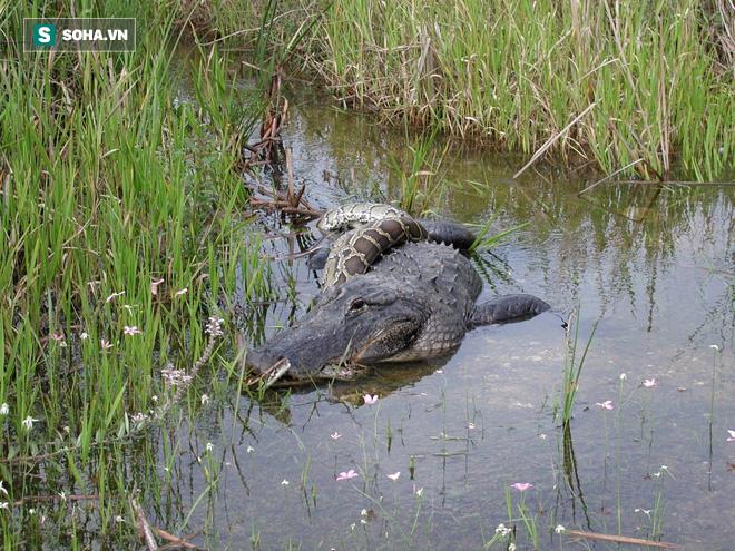 Tham lam nuốt chửng con mồi dài 2m, trăn Miến Điện rách ruột, nằm chết nổi trên nước - Ảnh 1.