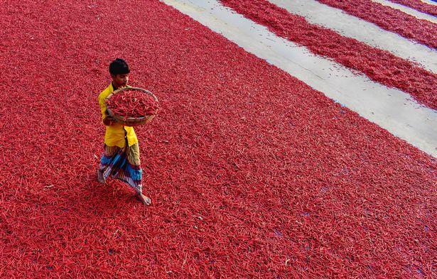 Mãn nhãn với những bức ảnh tuyệt đẹp trong mùa thu hoạch ớt ở Bangladesh - Ảnh 3.