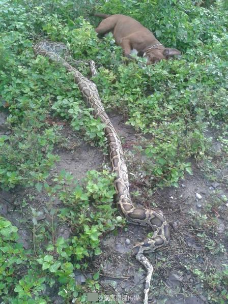 Mò vào vườn nhà, trăn khổng lồ bị chó tấn công trọng thương - Ảnh 3.