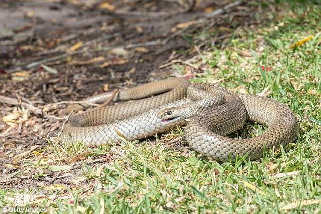 Cận cảnh loài rắn chuyên cắn người khi ngủ, gây ra cơn ác mộng kinh hoàng ở Úc - Ảnh 3.