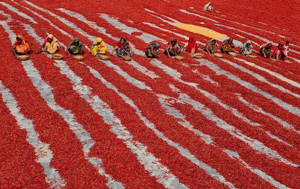 Mãn nhãn với những bức ảnh tuyệt đẹp trong mùa thu hoạch ớt ở Bangladesh - Ảnh 4.