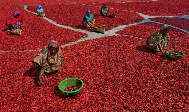 Mãn nhãn với những bức ảnh tuyệt đẹp trong mùa thu hoạch ớt ở Bangladesh - Ảnh 5.