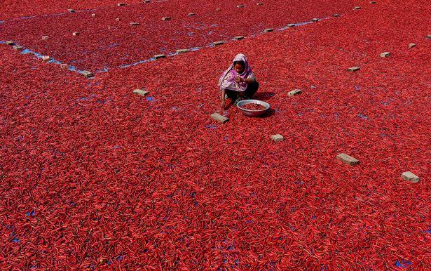 Mãn nhãn với những bức ảnh tuyệt đẹp trong mùa thu hoạch ớt ở Bangladesh - Ảnh 6.