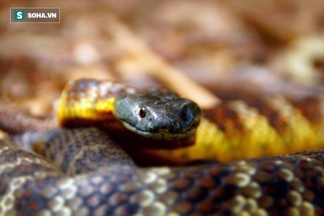 Rắn hổ: Loài rắn độc thứ 3 của Úc. Ảnh: Internet