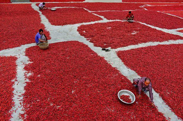 Mãn nhãn với những bức ảnh tuyệt đẹp trong mùa thu hoạch ớt ở Bangladesh - Ảnh 7.