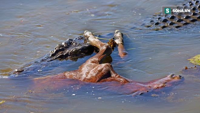 Video: Đang nằm phơi nắng, cá sấu bị ngựa hoang tung vó, chạy rẽ khói - Ảnh 1.