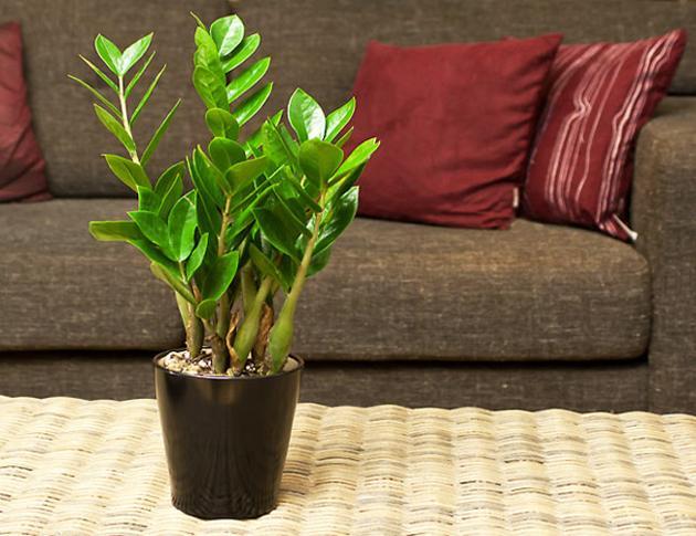 5 loại cây phong thủy hút tài lộc vào nhà được nhiều gia đình chọn mua trong dịp Tết - Ảnh 4.