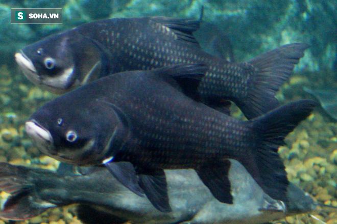 Loài cá khổng lồ có thể bị gạch khỏi sách đỏ VN: Vì sao nhà hàng sẵn sàng chi nghìn USD? - ảnh 1