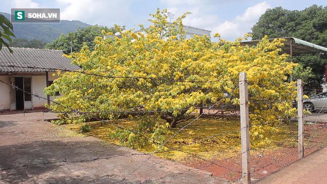 Cận cảnh cây mai được trả giá 2 tỷ ở Đồng Nai - Ảnh 1.