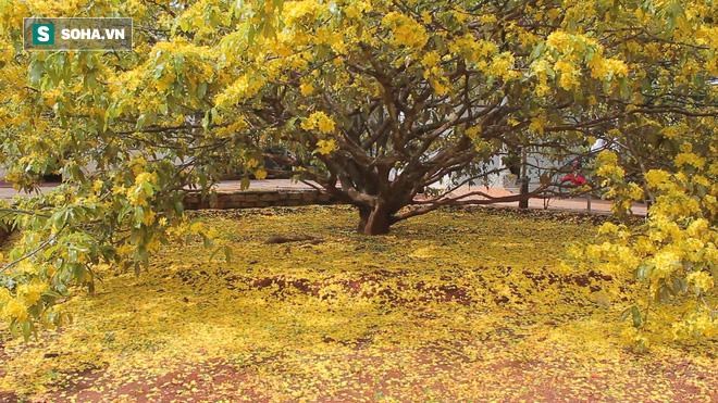 Cận cảnh cây mai được trả giá 2 tỷ ở Đồng Nai - Ảnh 2.