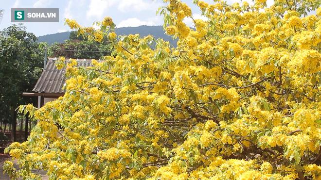 Cận cảnh cây mai được trả giá 2 tỷ ở Đồng Nai - Ảnh 11.
