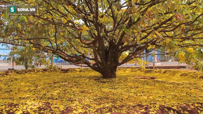 Cận cảnh cây mai được trả giá 2 tỷ ở Đồng Nai - Ảnh 9.
