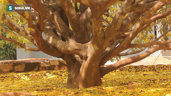 Cận cảnh cây mai được trả giá 2 tỷ ở Đồng Nai - Ảnh 6.