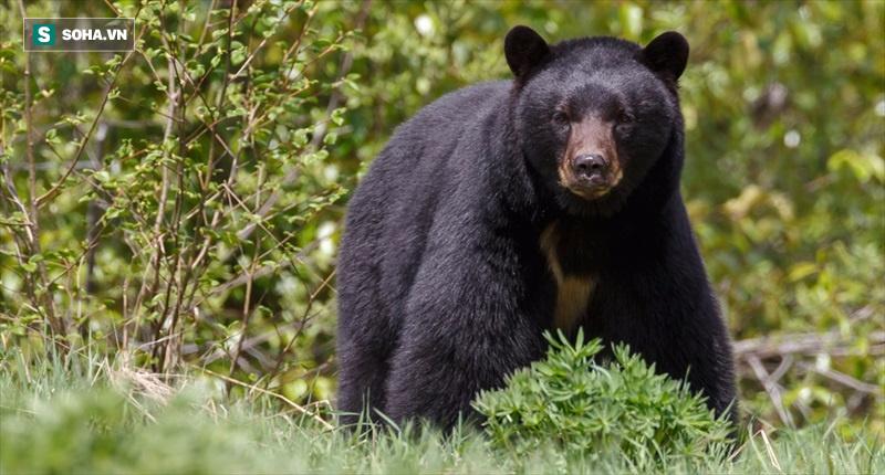 Sư tử quyết chiến gấu đen: Trận đấu nghẹt thở giữa răng nanh và móng vuốt! - Ảnh 1.