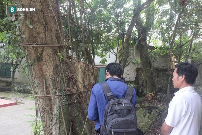 Cây sưa trăm tỷ ở Hà Nội sắp biến thành củi đun